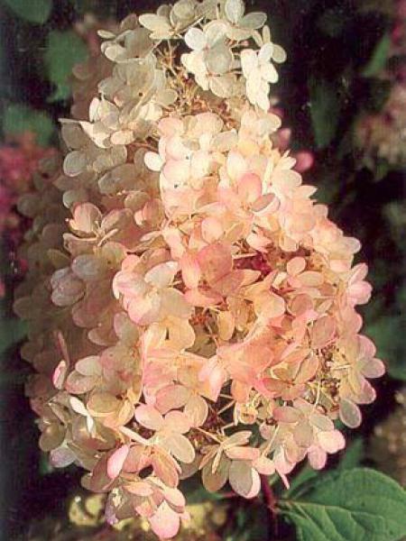 Hortensia paniculé 'Grandiflora'