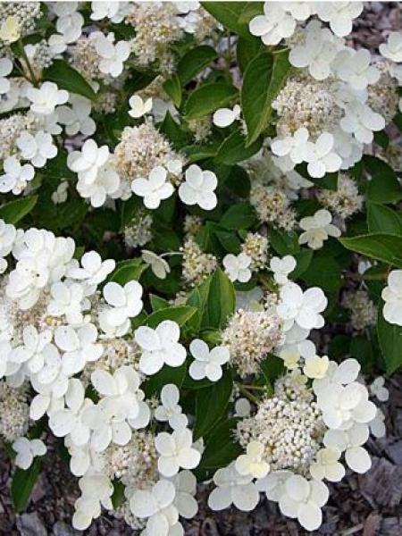 Hortensia paniculé 'Prim White'®