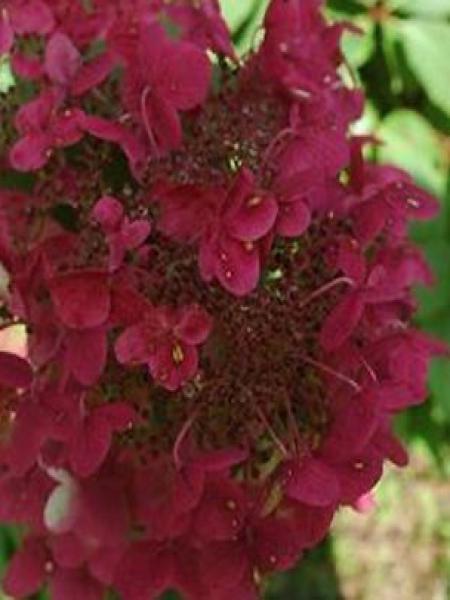 Hortensia paniculé 'Wim's Red'®