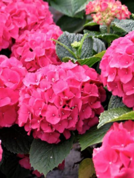 Hortensia 'Red Baron'