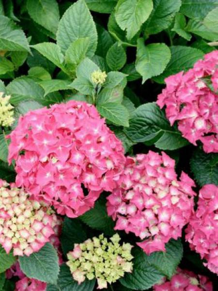 Hortensia -rose-