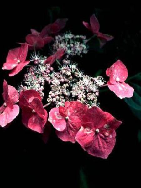 Hortensia 'Rotkehlchen'