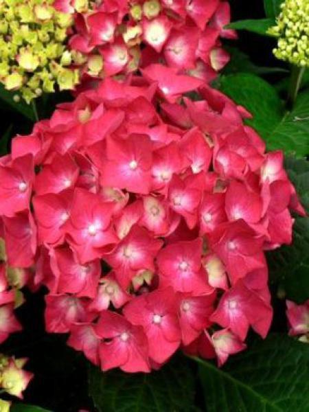 Hortensia -rouge-