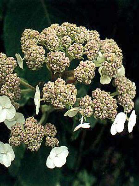 Hortensia sargentiana
