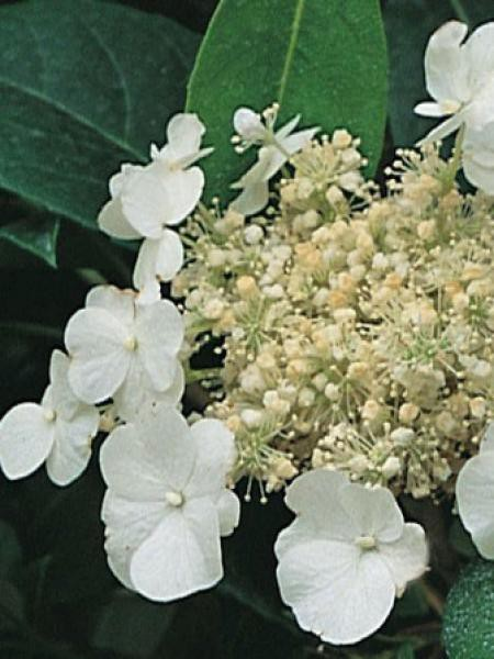 Hortensia 'Seemanii'