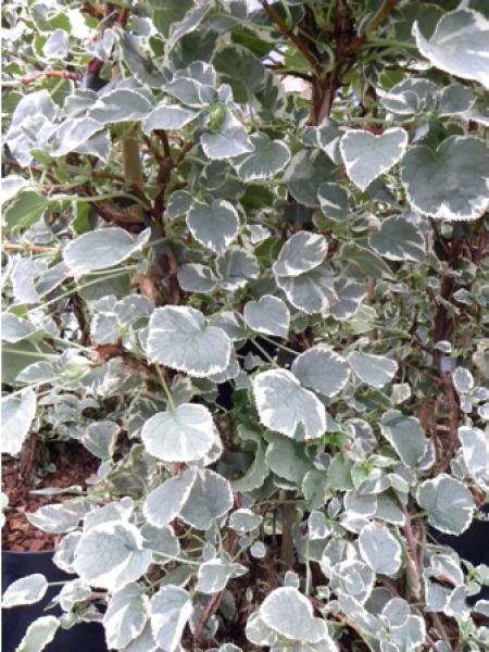 Hortensia 'Silver Lining®'