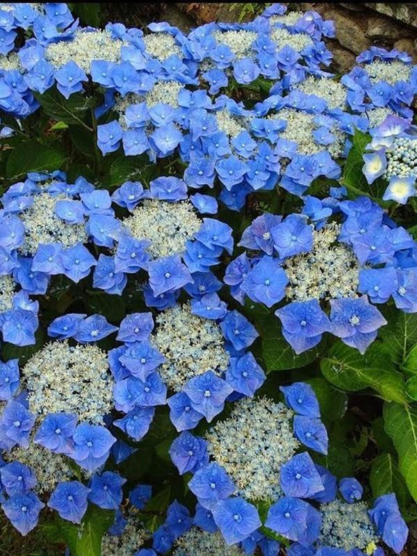 Hortensia 'Teller Blue'