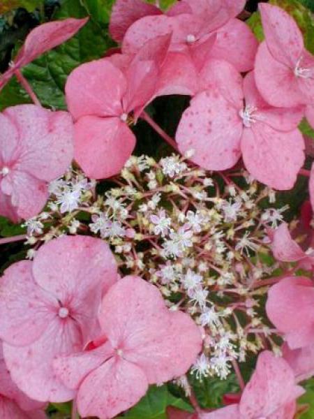Hortensia 'Teller Pink'