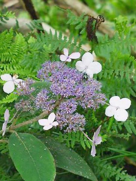 Hortensia villosa