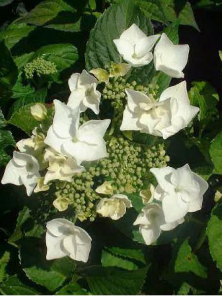 Hortensia 'White Wave'