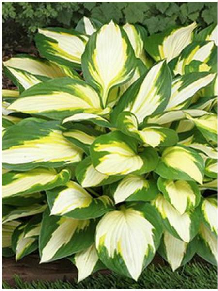 Hosta  'Color Festival'