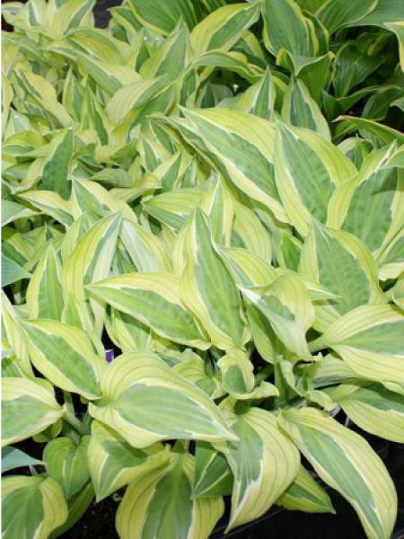 Hosta 'Color Glory' 'Hanky Panky'