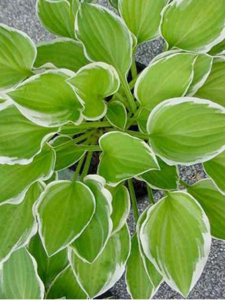 Hosta  'Diamond Tiara'