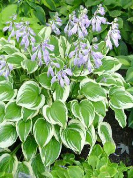 Hosta  'Emily Dickinson'