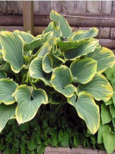 Hosta fluctans 'Sagae'