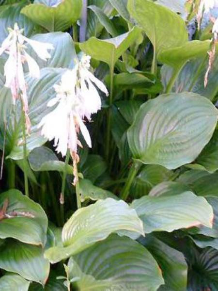 Hosta fortunei 'Hadspen White'