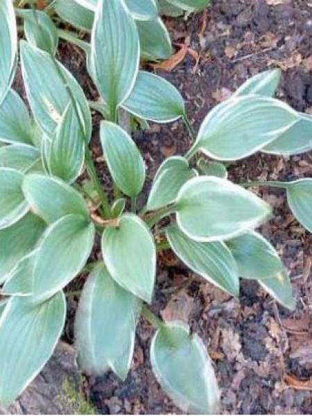 Hosta fortunei 'Joker'