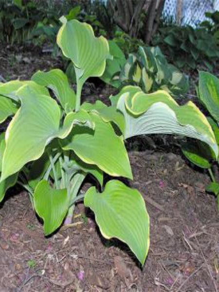 Hosta  'Lakeside Cha Cha'