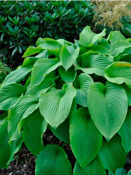 Hosta montana 'Green acres'