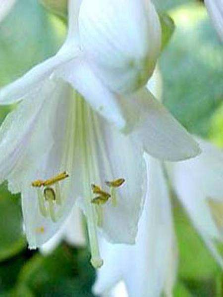Hosta sieboldiana 'Frances Williams'