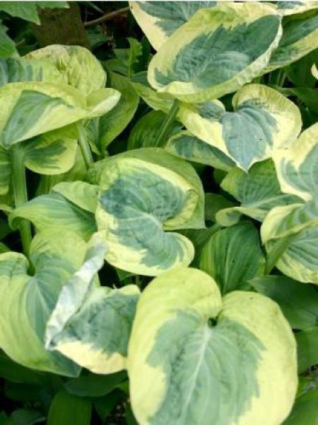 Hosta  'Snow Cap'