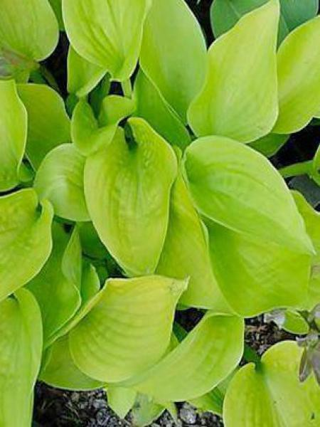 Hosta tokudama 'Golden medallion'
