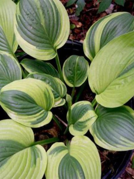 Hosta  'Unforgettable'