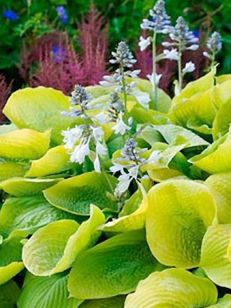 Hosta  'Zounds'