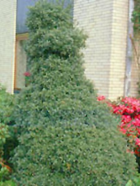 Houx 'Myrtifolia'