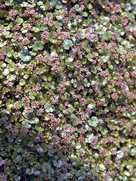 Hydrocotyle novae-zelandia
