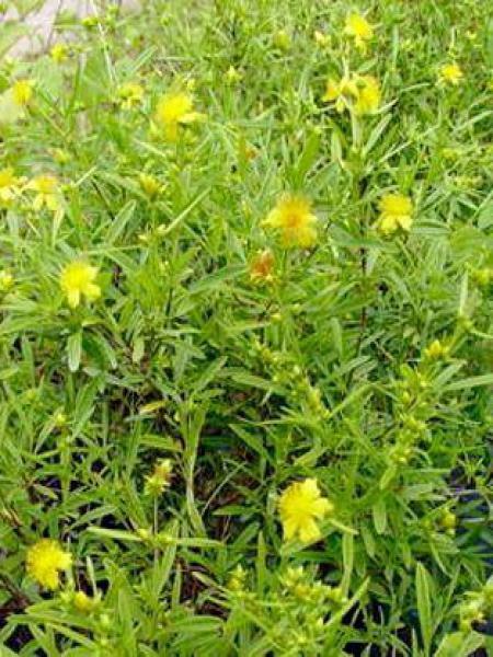 Hypericum androsaemum 'Buttercup'