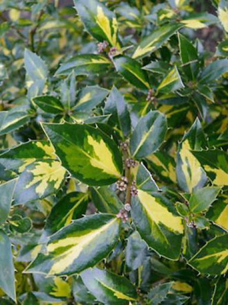 Ilex aquifolium 'Myrtifolia Aureomaculata'