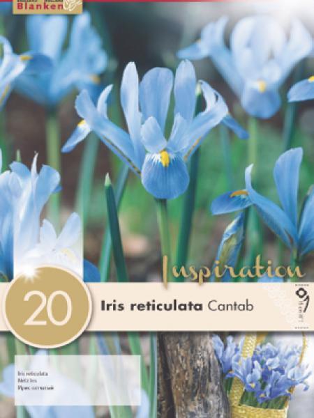 Iris 'Cantab'