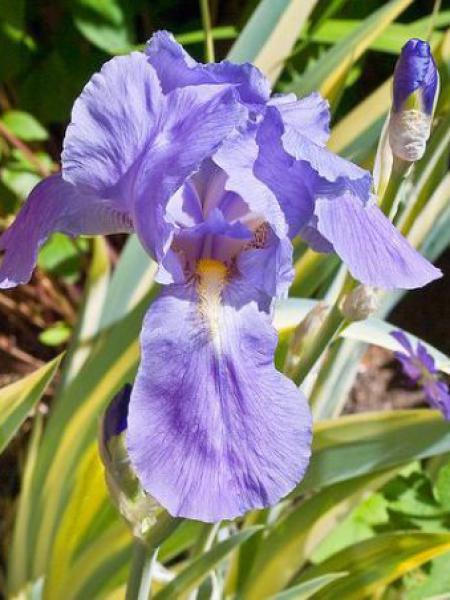 Iris de Florence, Iris à parfum 'Aureovariegata'