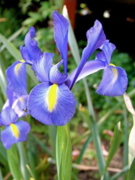 Iris de Hollande '-bleu-'