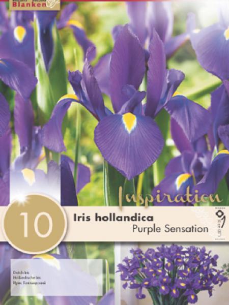 Iris de Hollande 'Purple Sensation'