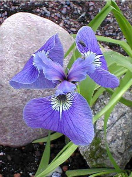 Iris de l'Alaska