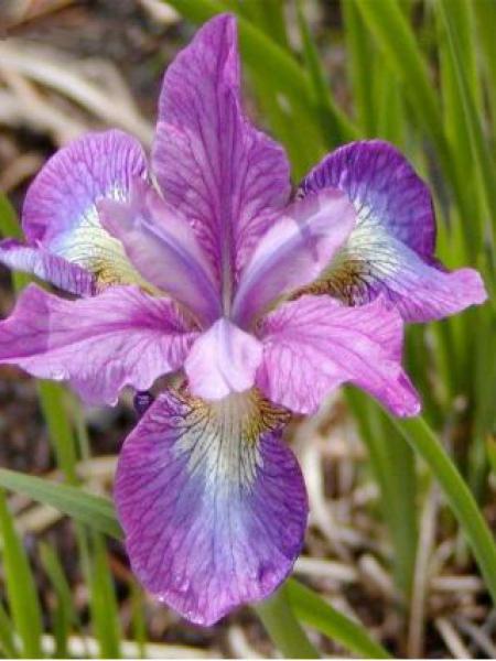 Iris de Sibérie 'Illini Charm'