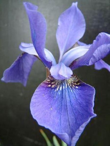 Iris de Sibérie 'Persimmon'