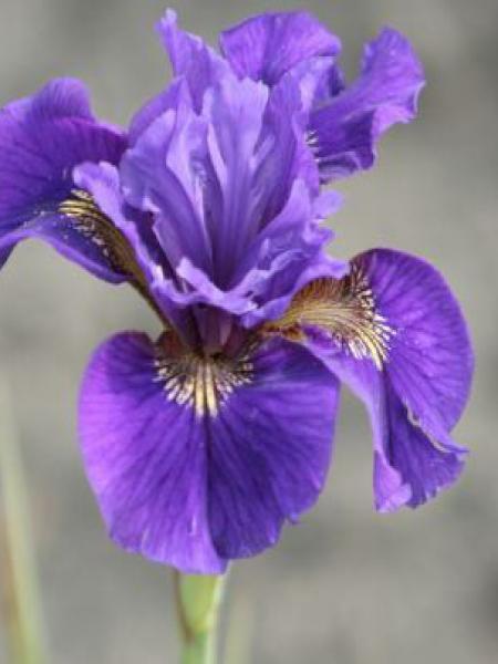 Iris de Sibérie 'Ruffled Velvet'