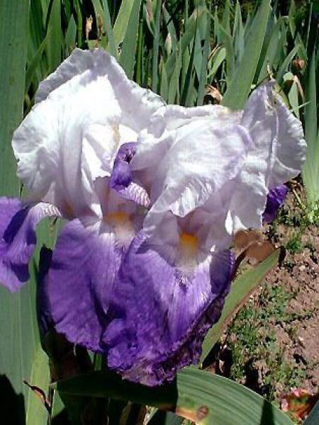 Iris des jardins 'Arpege'