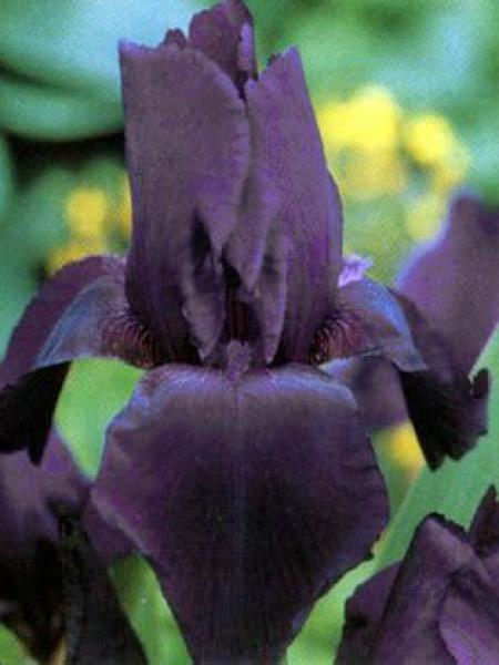 Iris des jardins 'Black Knight'
