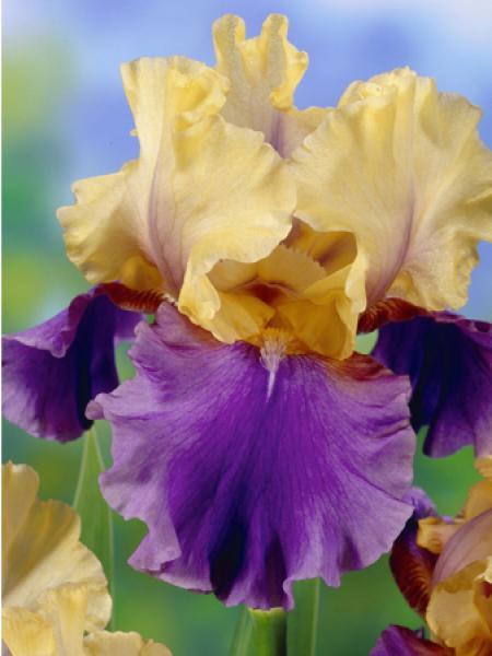 Iris des jardins 'Edith Wolford'