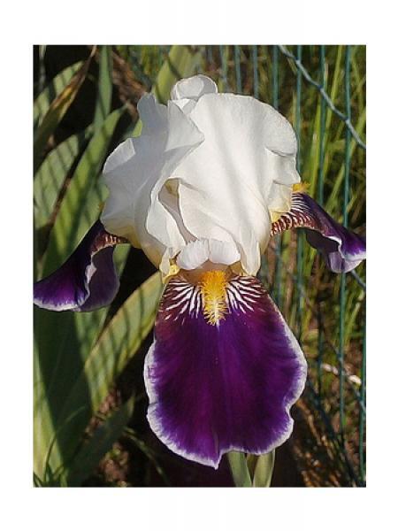 Iris des jardins 'Headlines'