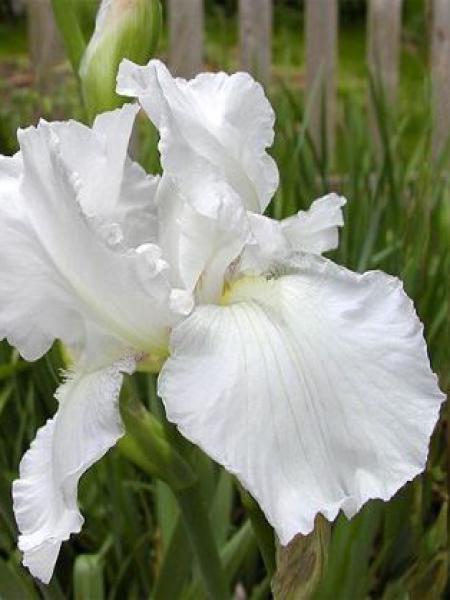 Iris des jardins 'Immortality'
