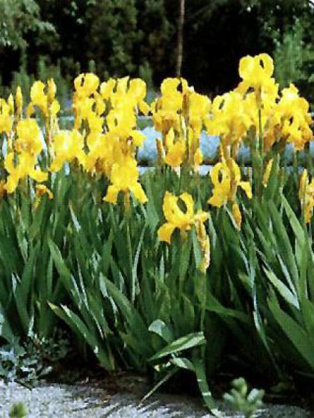 Iris des jardins 'Ola Kala'