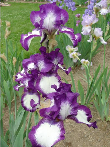 Iris des jardins 'Stepping Out'