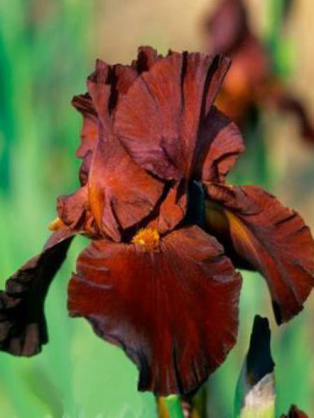 Iris des jardins 'Sultan Palace'