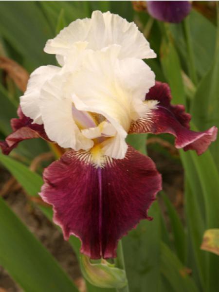 Iris des jardins 'Tiger Butter'