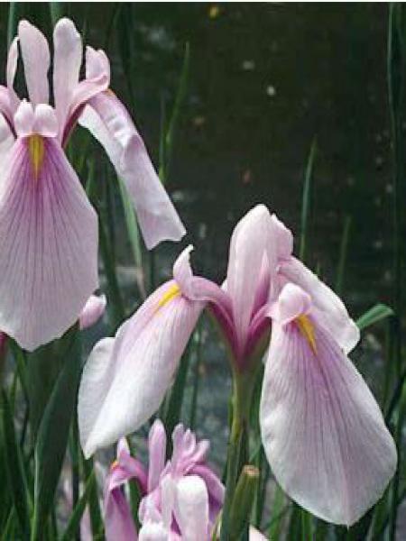 Iris des rives 'Rose Queen'